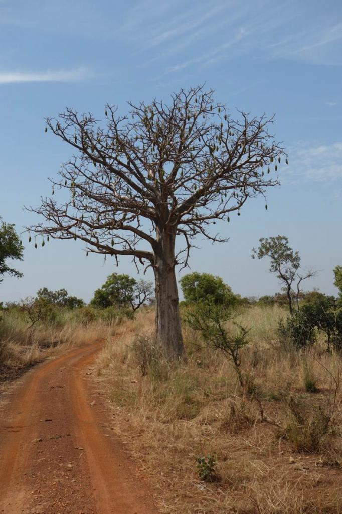 Baobab - Réserve Pendjari