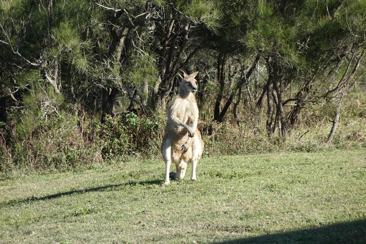 Kangourou musclé