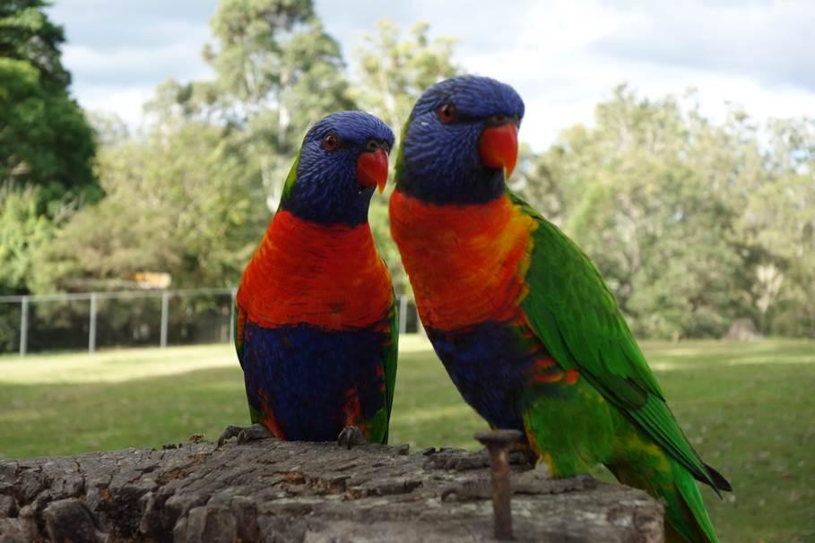 Perruche - Koala Sanctuary, Brisbane
