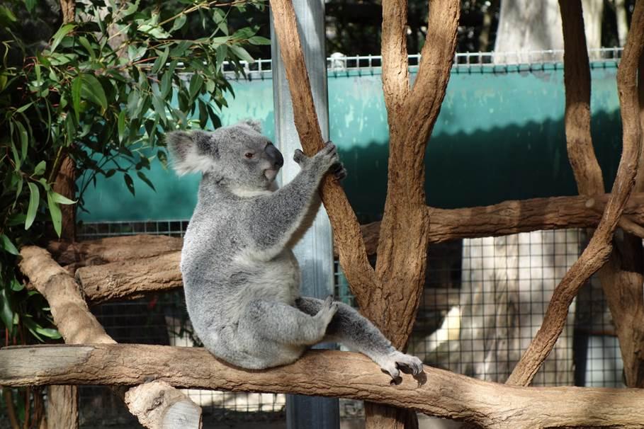 Koala - Koala Sanctuary, Brisbane