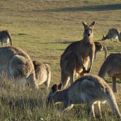 Kangourous - Emerald beach