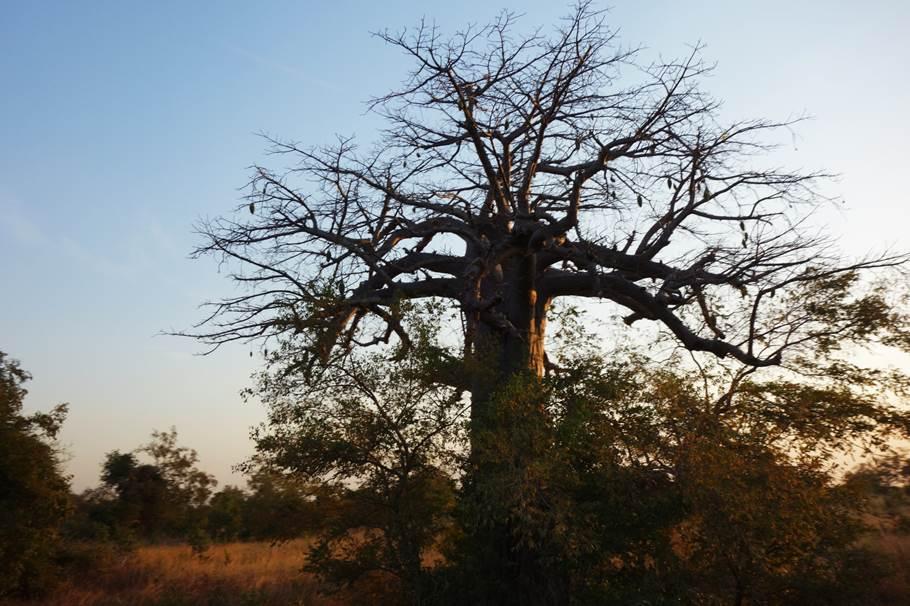 Baobab - Parc Penjari
