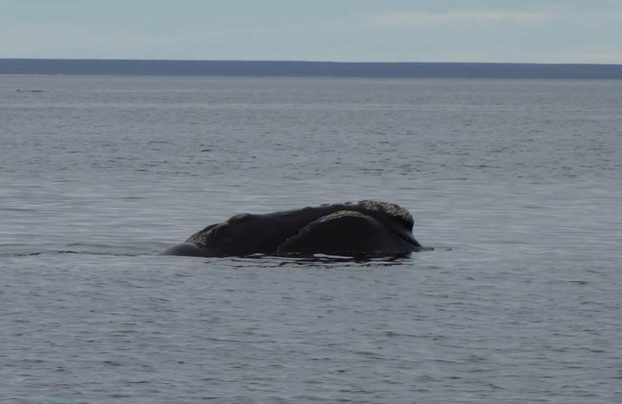 Baleine - El Doradillo