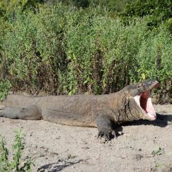 Dragon de Komodo - Ile Komodo